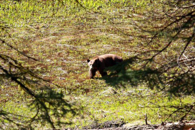 Osos en Sequoia