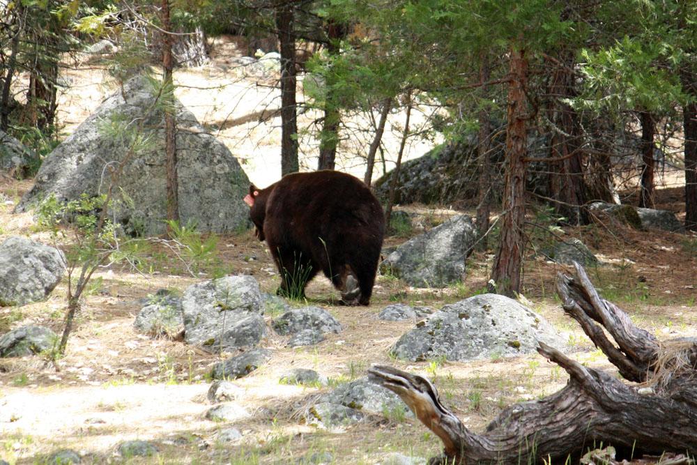 osos yosemite