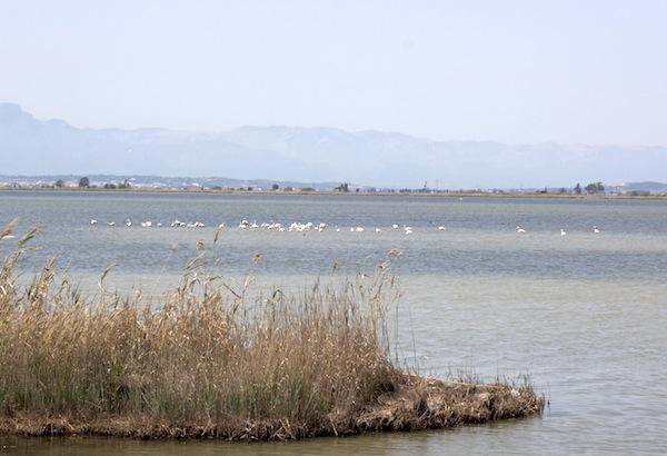 flamingos en delta ebre