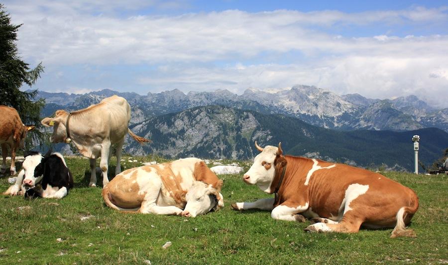 vacas vogel eslovenia