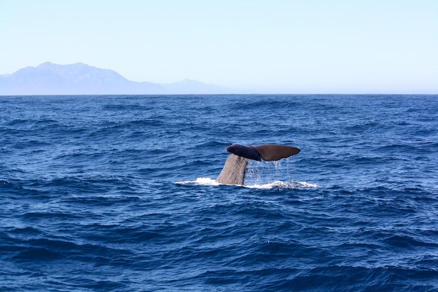 Ballenas en Kaikoura Nueva Zelanda