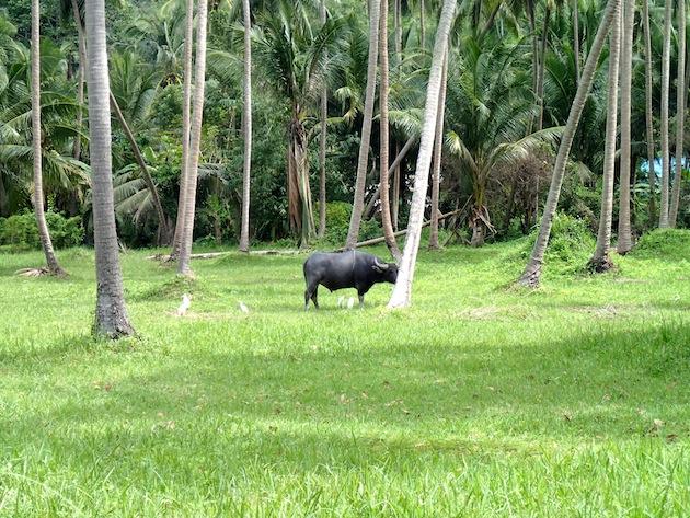 ñu tailandia